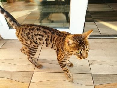 Кот/кошка породы бенгал