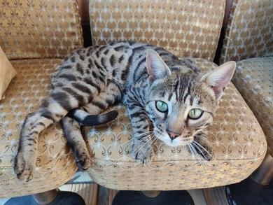 Кот/кошка породы бенгал , фото 2