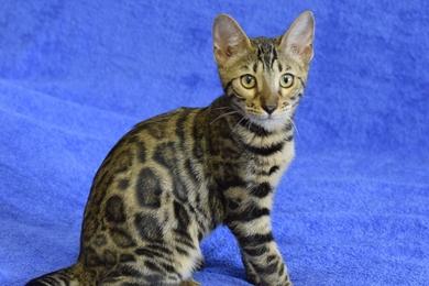 Пропала бенгальская кошка - имя Тиффани