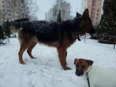 В военном городке Уручье. ул 50 лет Победы. Видели сегодня крупную собаку, свободно гуляющую. Ошейник на ней. К людям подходит. Не агрессивная.