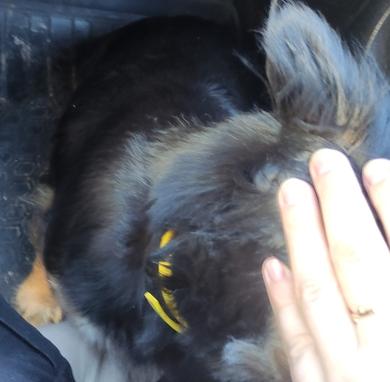 21.05 Надена мал.собачка в желт.ошейнике Минск Рыбокомплес, фото 3