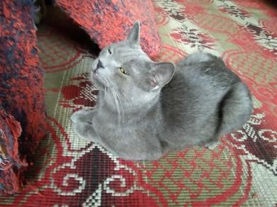 найден кот похож на породу русский голубой