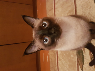 Пропал сиамский кот! В районе ул. Пугачевская