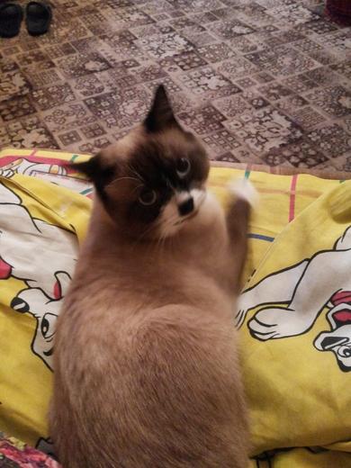 09.09.2018 потерялся кот в районе улицы Шугаева, дом 7. Упал с 3 этажа в промежутке с 23:00 до 2:00 ночи., фото 2