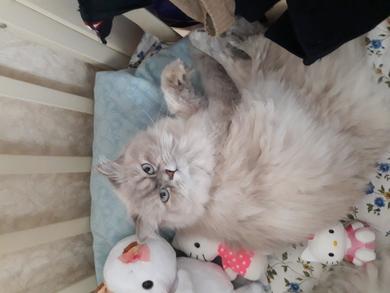 Потерялась кошка.серо-белая,пушистая