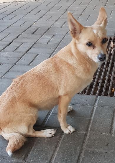 Маленькая рыжая собачка ходит одна, Уручье, Военный городок, фото 2