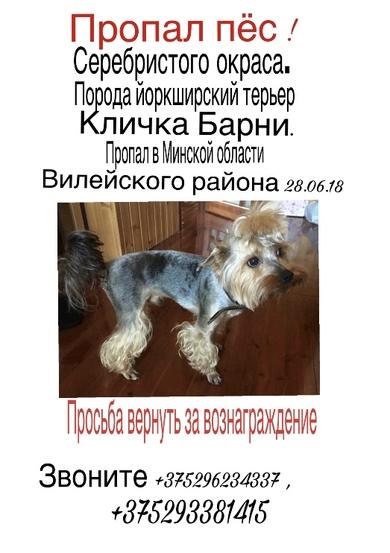Пропала собака Йоркшир