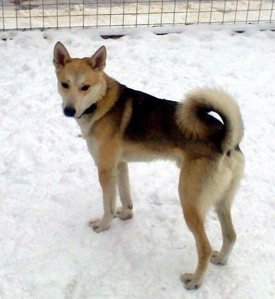 Найден светло-серый молодой пес
