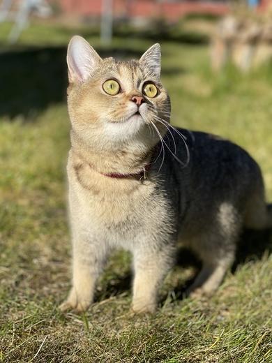 Потерялся котёнок Шотландка, фото 2