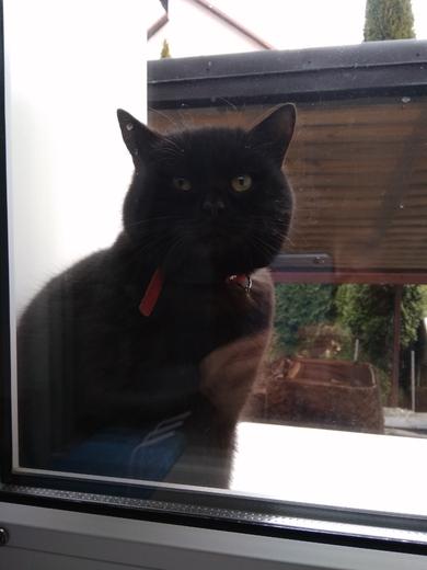 Найден черный кот с красным ошейником.