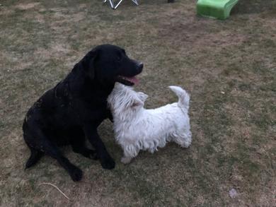 Пропали собаки Вест и чёрный лабрадор