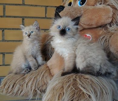 Красивые котята отдаются в хорошие руки