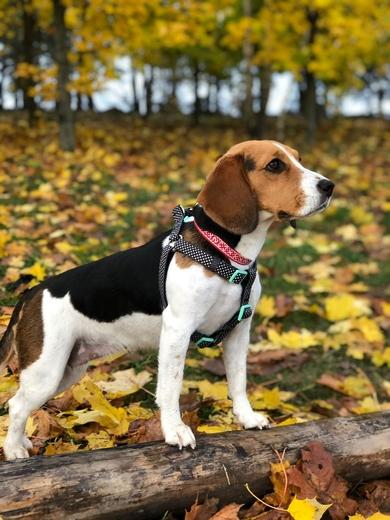Потерялась собака бигль