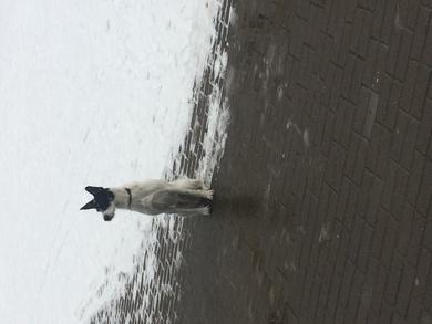 Белый с чёрными пятнами и металлической бляшкой на ошейнике потерян, фото 2
