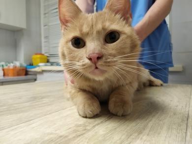 Найден прооперированный рыжий кот.