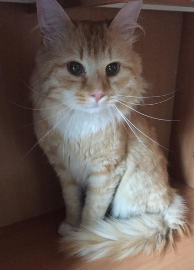 Найден рыжий кот Уручье, фото 2