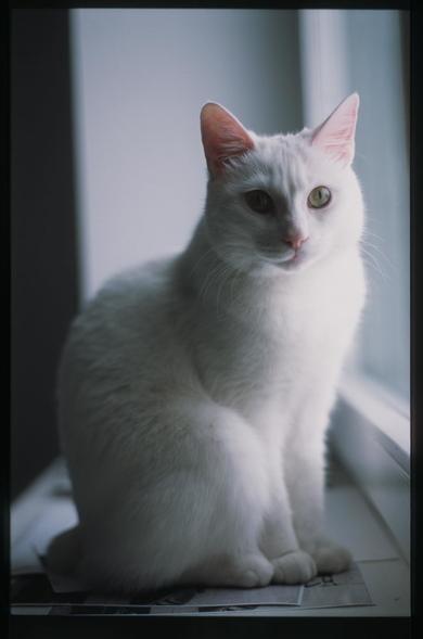Белая кошка с коротким хвостом убежала из дома