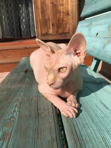 Пропала кошка породы сфинкс