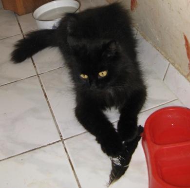 Чисто черная красавица с желтыми глазами в дар, фото 2
