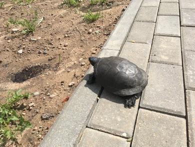 была замечена черепаха между Лобанка 4 и Притыцкого 105
