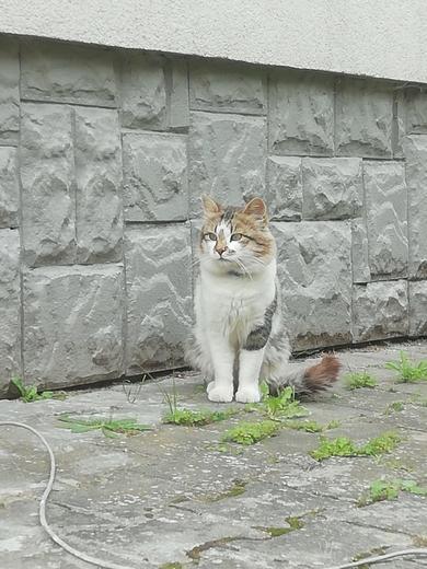 Кот с синим ошейником найден в д.Виншневка,Минский р-н