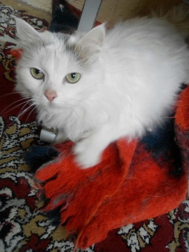 Найдена белая кошка