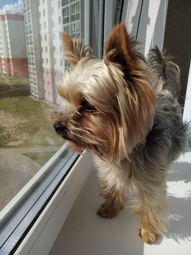 Найдена собака йорк
