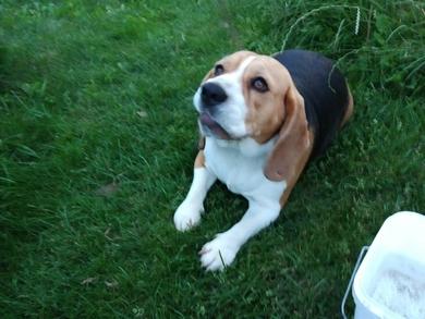 Найдена собака породы бигль. В районе Кургана Славы.