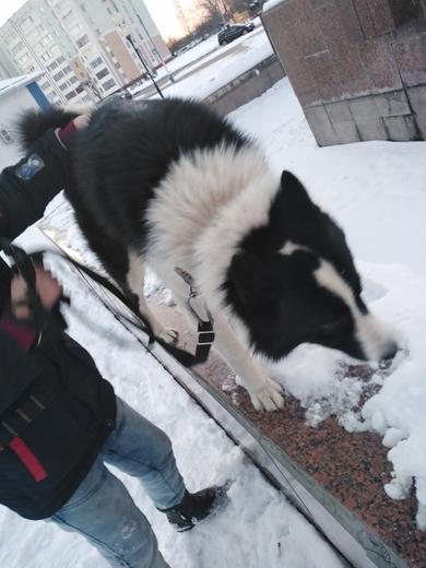 Найдена русско-европейская лайка , фото 2