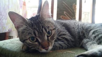 В районе Чижовка-Арены найден ласковый домашний кот.