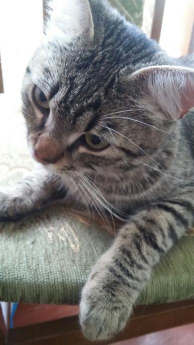 В районе Чижовка-Арены найден ласковый домашний кот., фото 4