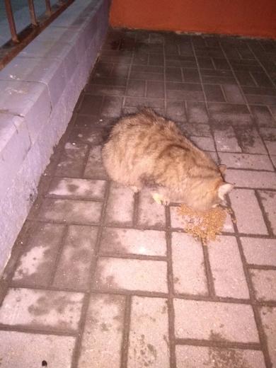 Ищу владельца Толстенький котик, фото 2