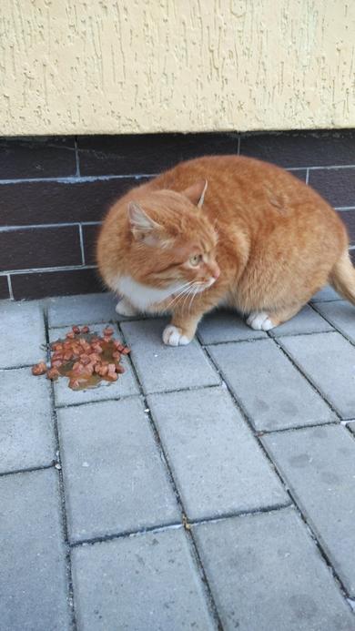 Найден рыжий кот в г. Барановичи в Боровках