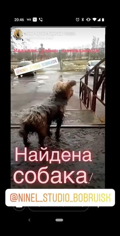 Йорк, мальчик Бобруйск