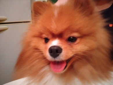 Пропал кобель породы померанский шпиц по кличке Вильямин. Сбежал с дома в агрогородке Самохваловичи 12.06.2021 около 15:00. Если кто обладает какой-либо информацией, звоните: +375298561393, +375296705758. За достоверную информацию о местонахождении собаки, фото 2