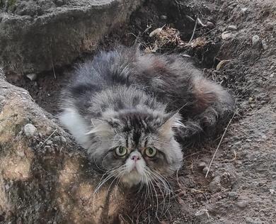 Найден кот перс