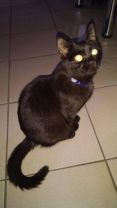 Найдена черная кошка с синим ошейником