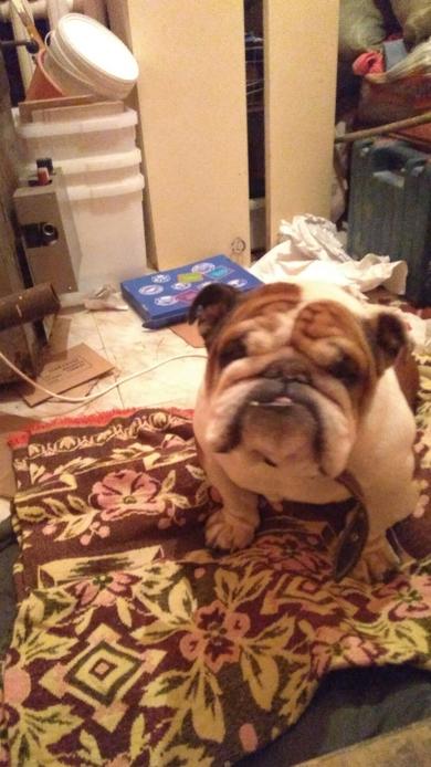 Найдена собака, английский бульдог, кабель, г. Минск центральный район. +375256836550 Артём, фото 2