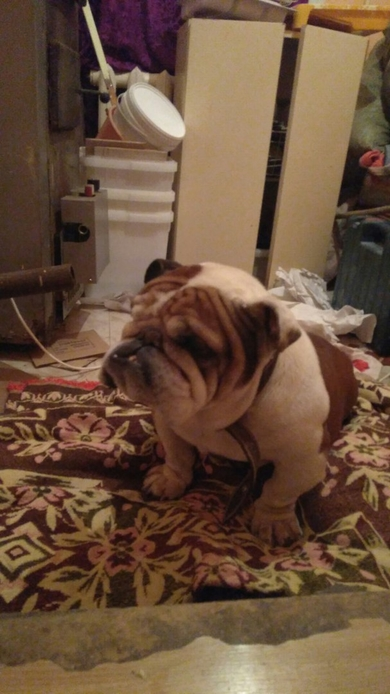 Найдена собака, английский бульдог, кабель, г. Минск центральный район. +375256836550 Артём, фото 3