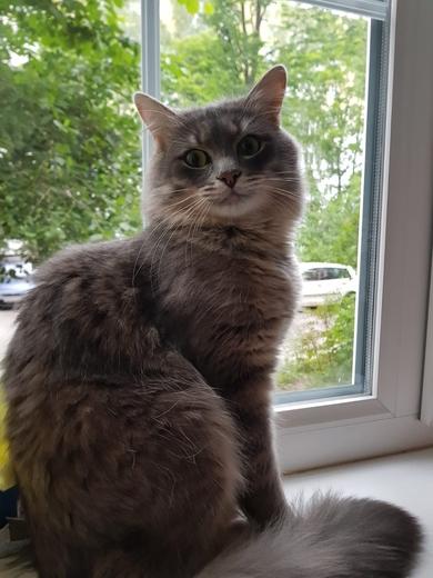 Нереальной красоты пушистый серый кот