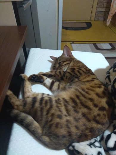 15 июля потерялась бенгальская кошка, Минск, Широкая 29