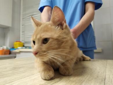Найден прооперированный рыжий кот., фото 2