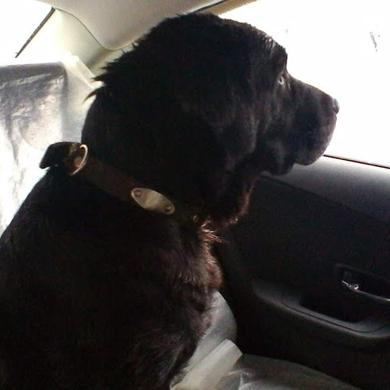 На гомельской трассе найден чёрный лабрадор, мальчик., фото 2