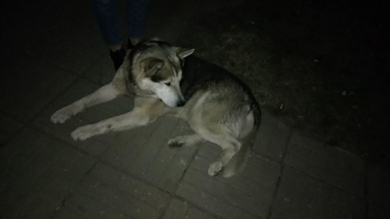 Найден пес, по виду маламут