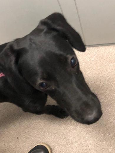 Найдена молодая чёрная собака