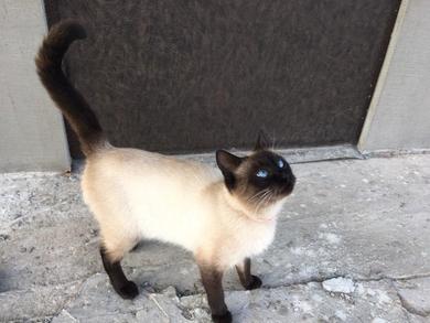 котик бежево-кофейный с голубыми глазами