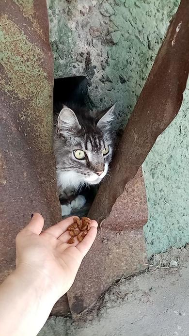 Найден кот породы Мейн Кун
