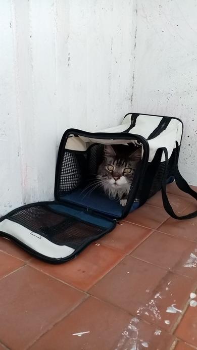 Найден кот породы Мейн Кун, фото 2