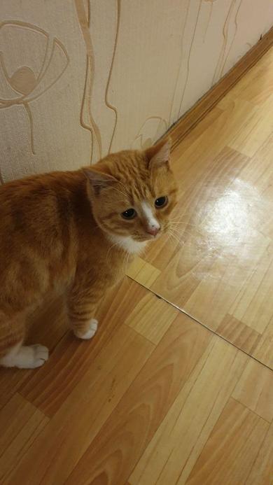 Найден рыжий кот, фото 2