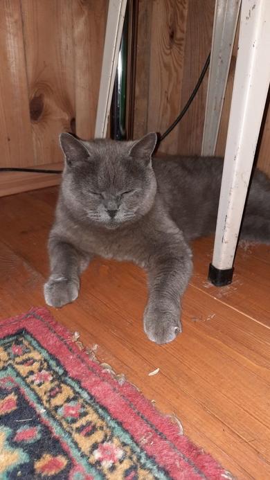 Найдена Британская кошка Пуховичский р-н, фото 2